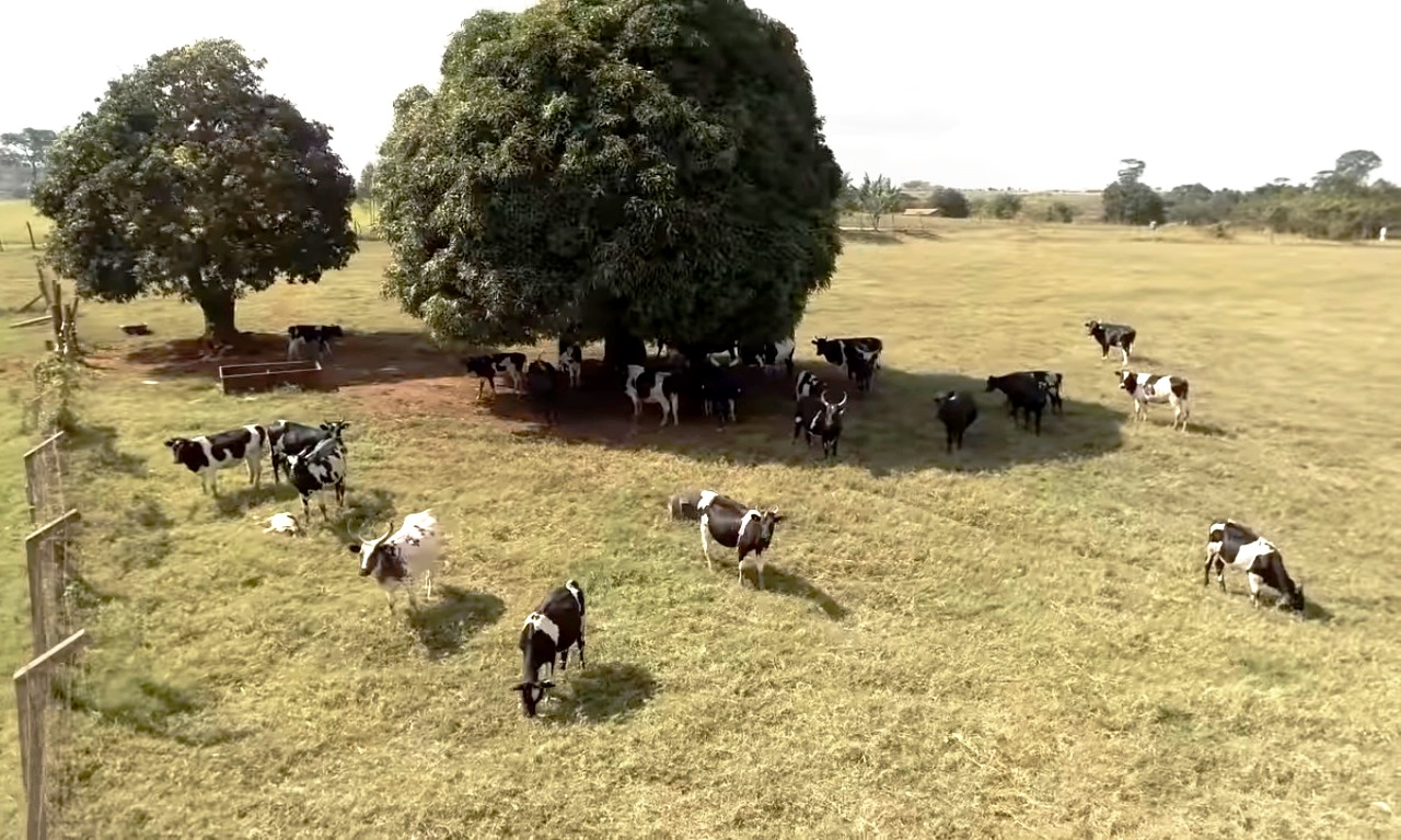 An aerial shot of cows grazing in a paddock at Makerere University's Buyana Stock Farm, Mpigi, Uganda.